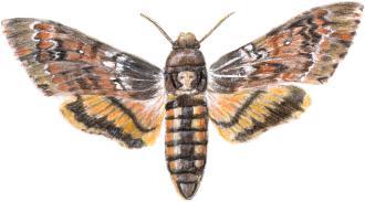 Les animaux nous révèlent. Papillons--ordre_des_lepidopteres--sphinx_tete_de_mort
